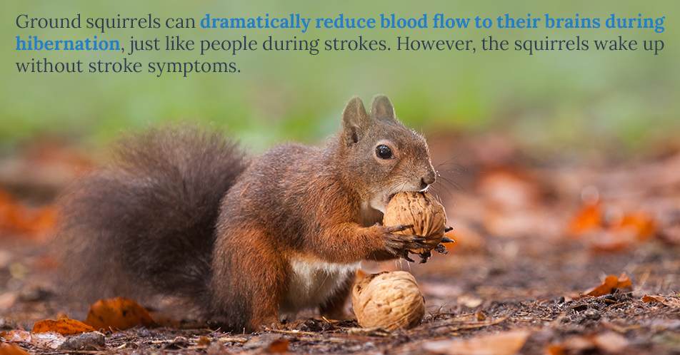 Ground squirrels can dramatically reduce blood flow to their brains during hibernation, just like people during strokes. However, the squirrels wake up without stroke symptoms.